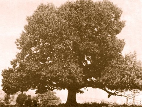 American Chestnut Tree (Uncredited, historical photo)