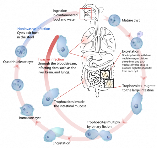 A parasitic lifecycle