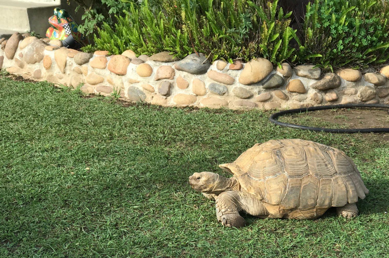 morla tortoise