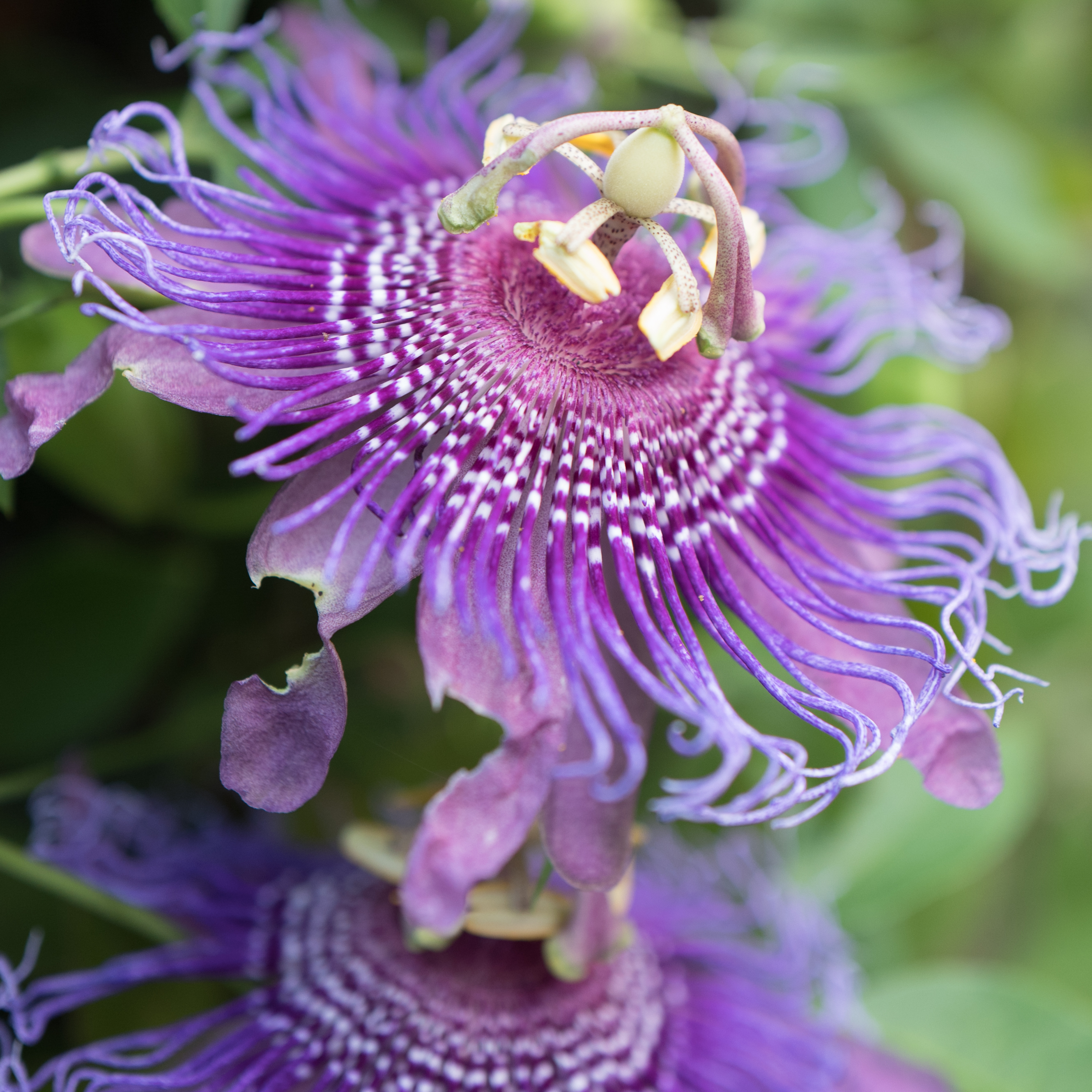 Purple Passion Flower 5 Minutes With Joe